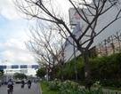 Nhiều cây xanh chết bất thường trước sân bay Tân Sơn Nhất