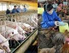 Lạm dụng kháng sinh, chất cấm sẽ giết chết ngành chăn nuôi!