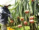 Thanh long Việt Nam gần thêm một bước tới thị trường Australia