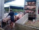 Đài Truyền hình Trung Quốc đưa phóng sự về buôn lậu lợn sống từ Việt Nam