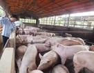 Cần cấm dần từng nhóm kháng sinh trong chăn nuôi