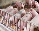 Sẽ có lộ trình cấm sử dụng thuốc kháng sinh trong chăn nuôi