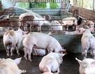 Báo động vấn nạn sử dụng chất cấm trong chăn nuôi