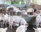 Cần tố giác, tẩy chay hành vi sử dụng chất cấm trong chăn nuôi
