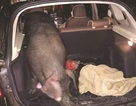 Trung Quốc: Thưởng Tết bằng cả con lợn sống
