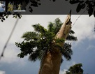 """Tìm ra cái cây """"thủy tổ"""" của đại dịch Ebola"""