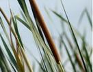 Bồ Hoàng - Cây cỏ giúp phòng ngừa xơ vữa và tắc nghẽn mạch vành