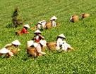 """Dân trồng chè vẫn nghèo chỉ tại... """"văn hóa trà""""?"""