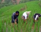 Năm 2014: Giảm diện tích lúa, đưa ngô chuyển gen vào sản xuất