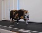 """Lợn """"tạo dáng"""" trên máy chạy bộ"""