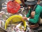 Cá tra Việt Nam lại gặp khó ở Mỹ
