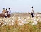 Dịch cúm A/H5N1 tiếp tục lan rộng