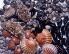 Phát hiện nhiều mẫu ngao sò nhiễm khuẩn độc