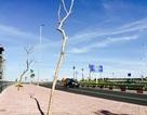 Hàng cây chết khô bên cầu Nhật Tân