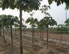 Dựng lều, trồng rau trên dải phân cách đại lộ Thăng Long