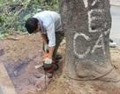 Chủ tịch Hà Nội gửi thư cho ông Trần Đăng Tuấn nói về việc chặt cây