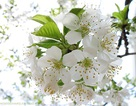 Hoa mơ đã nở trắng rừng…