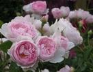 Nét kiêu sa của loài hoa đẹp nhất thế giới