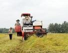 Cứu giá cho nông dân: Chưa có biện pháp nào hiệu quả hơn thu mua tạm trữ