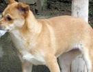 Chó dại cắn chết bé gái 10 tuổi
