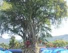 Cây đa lá lệch hơn 300 tuổi được công nhận Cây Di sản Việt Nam