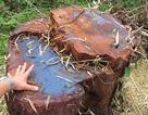 7 cây gỗ hương cổ thụ bị đốn hạ trong vườn quốc gia