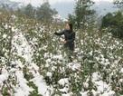 Lào Cai thiệt hại hơn 35 tỷ đồng do mưa tuyết và sương muối
