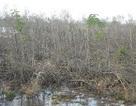 Hơn 10 héc ta rừng phòng hộ chết không rõ nguyên nhân