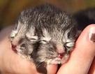 Lạ kỳ chú mèo có 2 mặt và 24 ngón chân