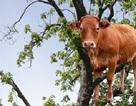 Giải cứu chú bê mắc kẹt… trên cành cây