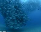 """Độc đáo cảnh hàng nghìn con cá tạo thành """"lốc xoáy"""" dưới biển"""
