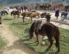 Gần tết Giáp Ngọ thăm chợ ngựa Bắc Hà