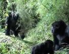 Nữ khách du lịch bị Gorilla kéo lê vào rừng