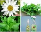 Công ty Việt sản xuất thuốc muỗi từ... cây cỏ!