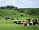 Vì sao New Zealand được mệnh danh là xứ sở của những nàng bò sữa?
