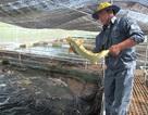 Hà Nội tiêu hủy hơn 8 tấn cá tầm không rõ nguồn gốc