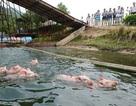 Cận cảnh màn nhảy cầu đặc biệt của các chú lợn đáng yêu