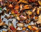 """Mùa nhãn, món bọ xít """"soán ngôi"""" bọ cạp"""