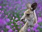 Lộng lẫy mùa hoa dại nước Úc