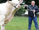 Ngỡ ngàng trước con bò khổng lồ nặng 2 tấn