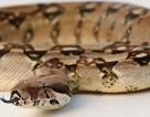 Trộm rắn ở sở thú để tặng quà sinh nhật cho con gái