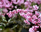 Hoa đào nở rộ khoe sắc trên đất Mỹ qua ống kính kỹ sư gốc Việt