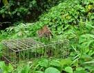Thả khỉ mặt đỏ, mèo rừng và rùa quý về rừng