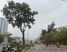UBND TP Hà Nội: Hầu hết nhân dân ủng hộ việc thay thế 6.700 cây xanh!