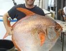 """Tìm thấy loài cá """"máu nóng"""" đầu tiên ở California"""