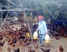 Tất cả các mẫu gà, vịt đều dương tính với vi rút H5N1