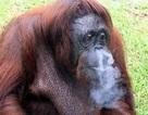 Đười ươi phải đi... cai nghiện thuốc lá