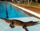 Cá sấu bất ngờ xuất hiện ở bể bơi công cộng