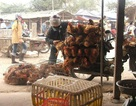 Phân biệt gà ta và gà thải từ Trung Quốc