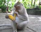 """Lời giải bài toán """"Khỉ bán chuối"""""""